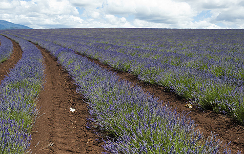 Port Arthur Lavender to boost Tasmania's tourist and export prospects