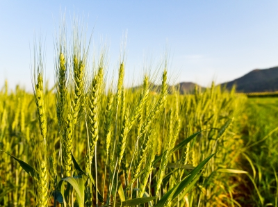 University of Queensland scientists work to make barley drought-proof