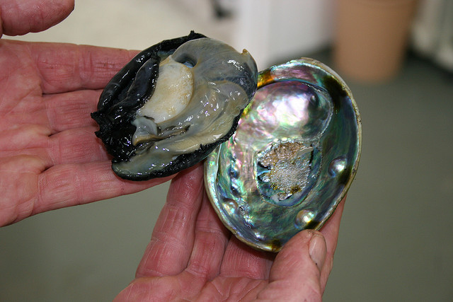 Abalone Image credit: flickr User: PearlParadise
